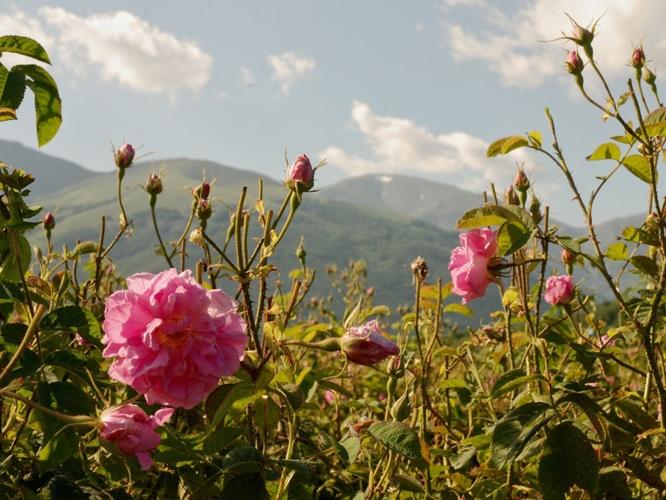 Rosenfeld in Bulgarien